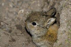 Coniglio del bambino fotografia stock libera da diritti