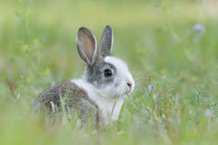 Coniglio del bambino nell'erba Fotografia Stock Libera da Diritti