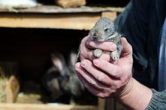 Coniglio del bambino nelle mani di un agricoltore Concetto di zootecnia, famiglia, carne organica, vita del villaggio Immagine Stock Libera da Diritti