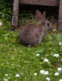 Coniglio del bambino in un giardino di Devon Immagine Stock Libera da Diritti