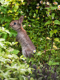 Coniglio del bambino in un giardino di Devon Fotografia Stock