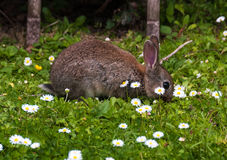 Coniglio del bambino in un giardino di Devon Fotografia Stock Libera da Diritti