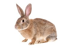 Coniglio del Brown, isolato Fotografia Stock Libera da Diritti