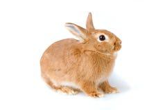 Coniglio del Brown isolato Immagini Stock Libere da Diritti