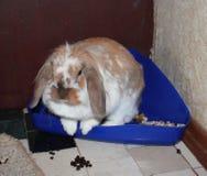 Coniglio dell'animale domestico Fotografie Stock