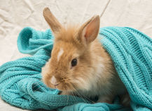 Coniglio dell'animale domestico Fotografia Stock Libera da Diritti