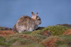 Coniglio dell'isola di Skokholm fra i cuscini del mare Fotografie Stock Libere da Diritti