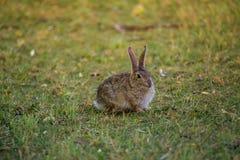 Coniglio della coda del cotone Immagini Stock Libere da Diritti