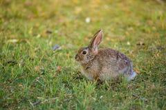 Coniglio della coda del cotone Fotografia Stock Libera da Diritti