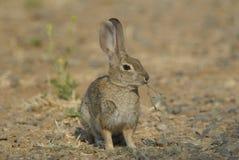 Coniglio della coda del cotone selvaggio Immagini Stock