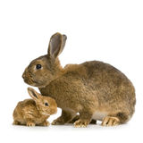 Coniglio della madre Fotografie Stock Libere da Diritti