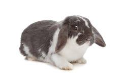 Coniglio di angora Fotografia Stock
