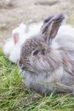 Coniglio di angora che mangia un'erba Immagine Stock
