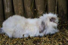 Coniglio di angora rilassato vicino ai recinti di legno fotografia stock libera da diritti