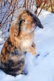 Coniglio di Brown che sta sul suo backfeet in neve Fotografia Stock