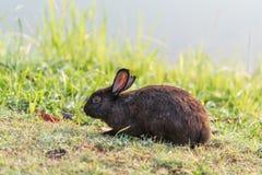 Coniglio di Brown sull'erba Immagine Stock Libera da Diritti