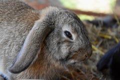 Coniglio di Brown in una conigliera Fotografie Stock