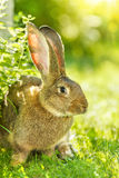 Coniglio di Brown vicino al cespuglio Immagini Stock Libere da Diritti