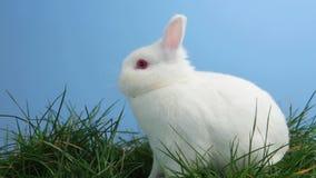 Coniglio di coniglietto bianco che fiuta intorno all'erba video d archivio