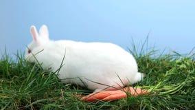 Coniglio di coniglietto bianco che fiuta intorno all'erba con alcune carote stock footage