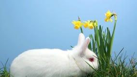Coniglio di coniglietto bianco che fiuta intorno all'erba con i narcisi video d archivio