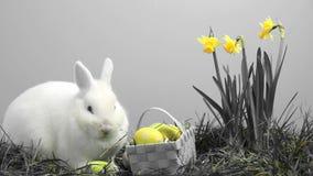 Coniglio di coniglietto bianco che fiuta intorno all'erba con i narcisi ed il canestro gialli delle uova di Pasqua video d archivio