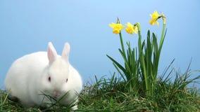 Coniglio di coniglietto bianco che fiuta intorno all'erba con i narcisi gialli archivi video