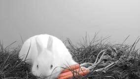 Coniglio di coniglietto bianco che fiuta intorno all'erba e ad una carota archivi video