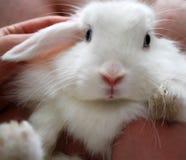 Coniglio di coniglietto bianco sveglio fotografia stock libera da diritti