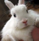 Coniglio di coniglietto bianco sveglio con gli occhi azzurri fotografie stock libere da diritti