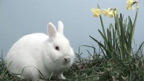 Coniglio di coniglietto che fiuta intorno all'erba con i narcisi archivi video