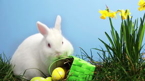 Coniglio di coniglietto che fiuta intorno all'erba con i narcisi ed il canestro delle uova di Pasqua archivi video