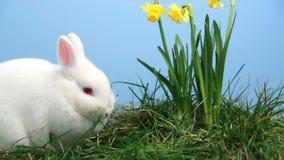 Coniglio di coniglietto che fiuta intorno all'erba con i narcisi gialli video d archivio