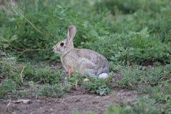 Coniglio di coniglietto del silvilago Immagine Stock