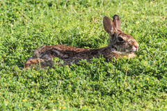 Coniglio di coniglietto di Brown, rilassantesi nel trifoglio, laterale vista Fotografia Stock Libera da Diritti