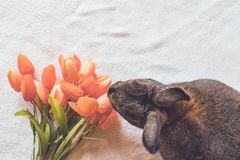 Coniglio di coniglietto di Gray Easter accanto ai tulipani della molla nella regolazione d'annata, vista superiore Fotografia Stock