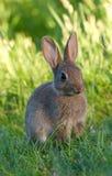 Coniglio di coniglietto selvaggio fotografia stock