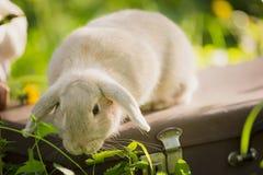 Coniglio di coniglietto sull'erba Fine in su fotografia stock libera da diritti