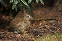 Coniglio di coniglietto sveglio in sottobosco Fotografia Stock