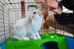 Coniglio di Lionhead che mangia nella gabbia Fotografie Stock