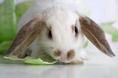 Coniglio di Lop fotografia stock libera da diritti