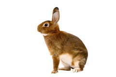 Coniglio di Rex della macchina per colata continua sopra bianco Immagine Stock
