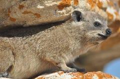 Coniglio di roccia che si alza Fotografia Stock Libera da Diritti