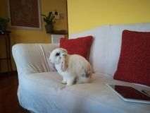 Coniglio di seduta Fotografia Stock