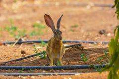 Coniglio di silvilago in Jedda, Arabia Saudita immagine stock libera da diritti