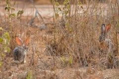 Coniglio di silvilago in Jedda, Arabia Saudita fotografia stock libera da diritti
