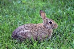 Coniglio di silvilago orientale fotografia stock libera da diritti