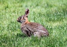 Coniglio di silvilago orientale fotografie stock