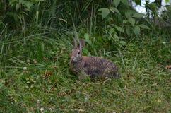 Coniglio di silvilago orientale Immagine Stock