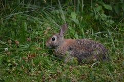 Coniglio di silvilago orientale Fotografia Stock